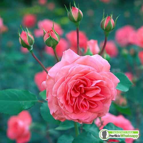 descargar imagenes de flores bonitas para perfil de whatsapp