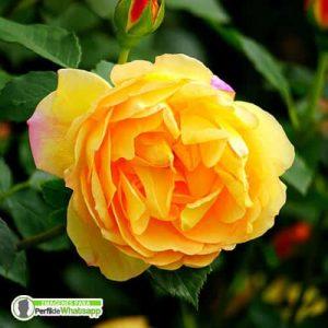 imagenes de rosas para perfil de whatsapp