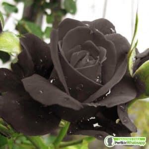 fotos de rosas negras