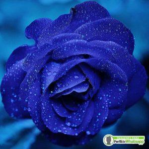 imagenes de rosas azules gratis