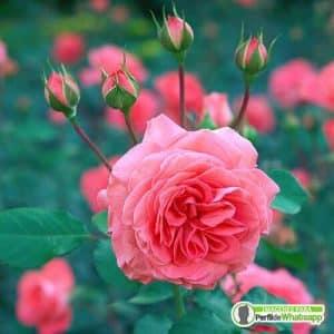 imagenes de rosas hermosas